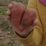 Šarūnės bulvė1