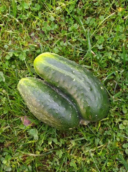 užfiksuota rudens daržovė